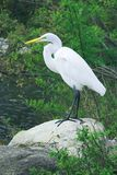 White Heron. A white heron standing on a rock set against green foliage Royalty Free Stock Image