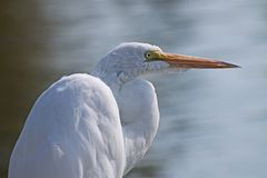 White Heron Royalty Free Stock Photography