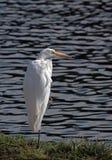 White Heron Royalty Free Stock Photos