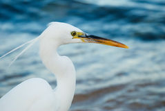 White heron. Closeup of white heron with two tufts on sea background Royalty Free Stock Image