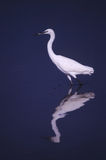 White heron. Heron walking to look for a fish Stock Photo