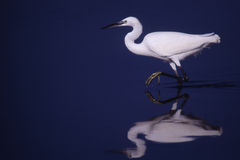 White heron. Walking in the water Royalty Free Stock Image