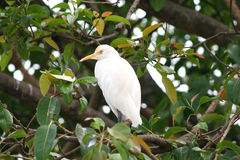 White Heron. Great white heron perched on a tree branch Stock Photo