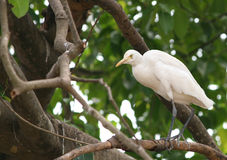 White heron. Great white heron perched on a tree branch Royalty Free Stock Photo