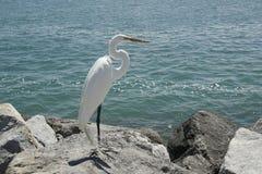 White heron. Royalty Free Stock Photos