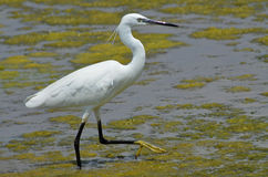 White heron. Walking in the marsh Stock Photo