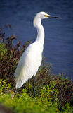 white heron Obraz Royalty Free
