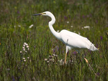 White heron. This is the wildlife photo of the heron from Hungary Royalty Free Stock Photography