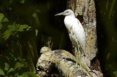 Free White Heron Stock Photos - 54413863