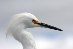 White heron. Close up of a white heron's head Stock Photos
