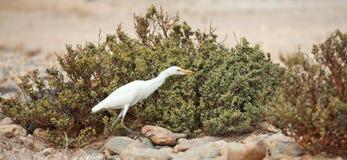 White heron Stock Images