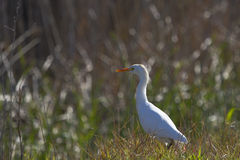 White heron Royalty Free Stock Images