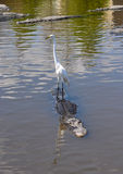 White Heron on Alligator Royalty Free Stock Photos