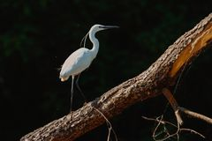 White Heron Ardea Alba sitting on a bench in the Danube Delta,. Europe, Romania stock photos