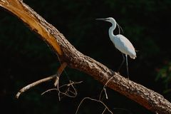 White Heron Ardea Alba sitting on a bench in the Danube Delta,. Europe, Romania royalty free stock photo
