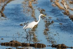 White heron Ardea alba at sunset in a flooded rice field in Albufera natural park, Valencia, Spain. Magic colors and perfect royalty free stock photography