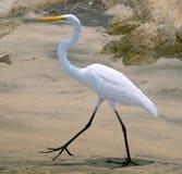 White heron (Ardea herodias) Stock Image