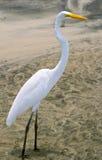 White heron (Ardea herodias) Royalty Free Stock Photos
