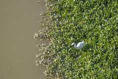 White heron at Arno River. Stock Image