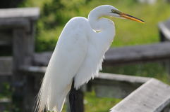 White Heron backlit. Everglades White Heron catching some sun on fence royalty free stock images