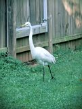 White Heron in Backyard 3 Royalty Free Stock Images