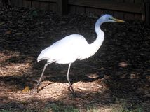 White Heron in Backyard 2 Royalty Free Stock Photography