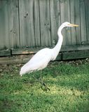 White Heron in Backyard. Image of a white Heron walking in the grass of a back yard with a wood fence behind it Stock Photo