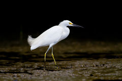 White Heron on the banks or a river Stock Photo