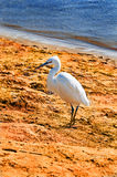 White heron on the beach , Egypt, Africa Stock Photos