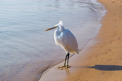 White heron on the beach , Egypt, Africa Stock Image