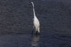 White heron in beach Royalty Free Stock Photo