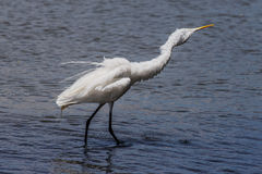 White heron in beach Royalty Free Stock Image