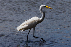 White heron in beach Royalty Free Stock Photography