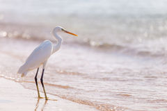 White heron Stock Images