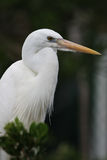 White Heron bird Royalty Free Stock Image