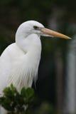 White Heron bird. Side portrait of white Heron bird outdoors Royalty Free Stock Image