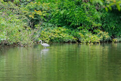 White Heron bird finding food on the pond. Royalty Free Stock Image