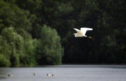 White heron bird flying over lake water Stock Photography