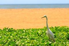 White heron bird near the beach Royalty Free Stock Images