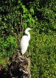 White heron bird Royalty Free Stock Photo