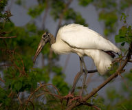 Wood Stork. Perched on a branch with foliage behind Stock Images