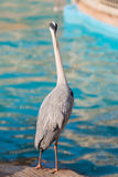 White Heron bird Standing at edge canal. Royalty Free Stock Photos