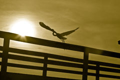 White heron bird at sunset. Rear view of white heron bird taking off from fence with sunset background Royalty Free Stock Photo