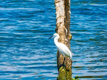 White heron birds seating on wood stock images