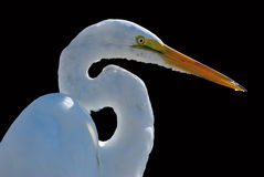 White heron on black background Stock Photography
