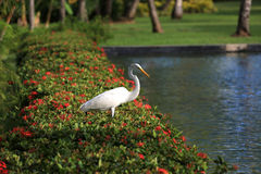 White Heron on blossoming bushes near the water Stock Images