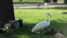 A white heron with a bunch of bunnies. A group of animals that live on an island where bunnies, turtles, ducks and a heron lives in peace stock video