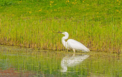 White heron catches a fish in a river Stock Photo