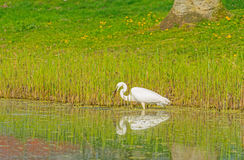 White heron catches a fish in a river Royalty Free Stock Photos