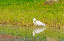 White heron catches a fish in a river Stock Photos